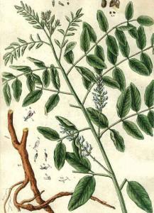 Virtudes do Alcaçuz, Planta medicinal