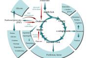 O Anabolismo-Catabolismo